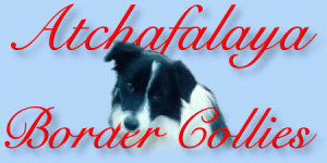 Atchafalaya Border Collies